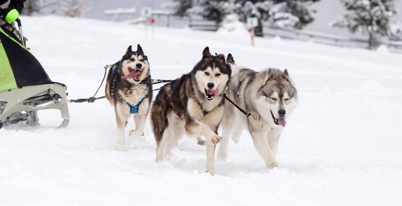 trineos tirados por perros en Ushuaia