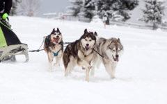 trineo con perros en alaska