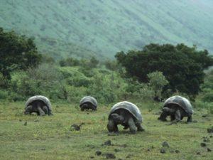 tortuga gigante de galapagos