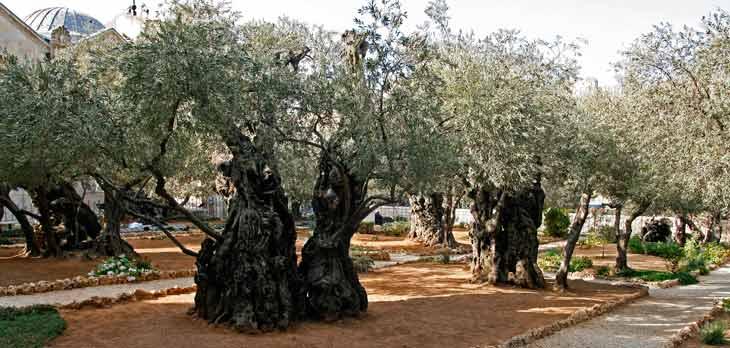 Monte de los Olivos Jerusalen