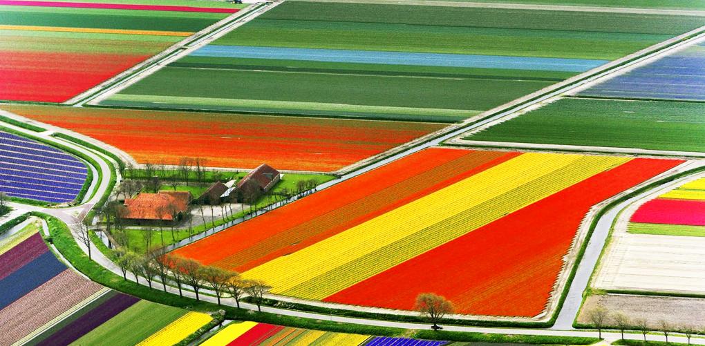 Campos de Tulipanes. Holanda