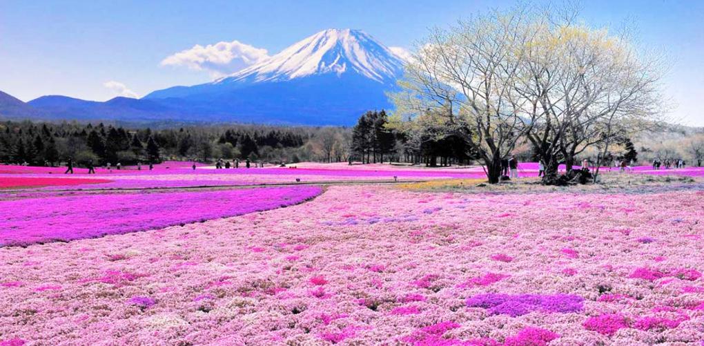 Parque Takinocho Shibazakura. Japon
