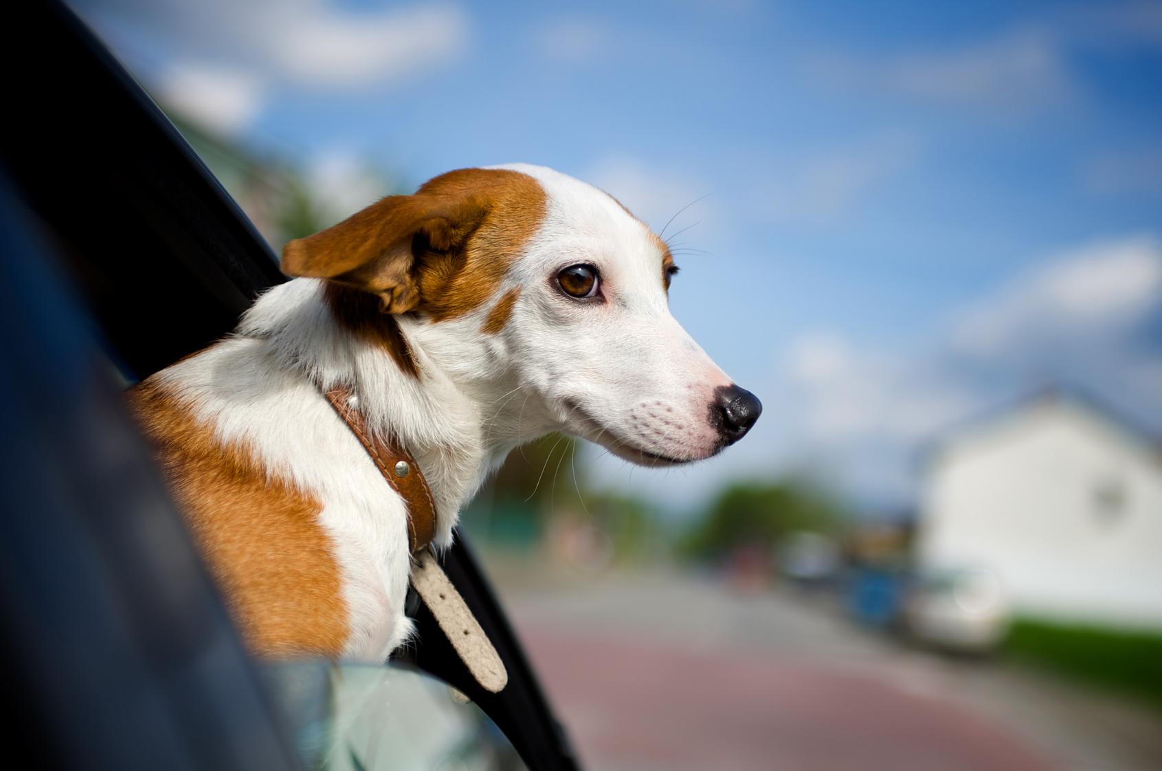 Un perro durante un viaje en carretera