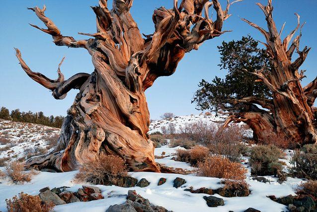 árboles viejos-Matusalen