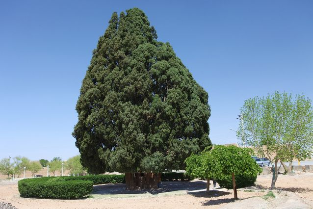 árboles viejos-Sarv-e-Abarqu-cypress