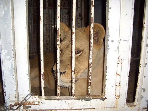 león encerrado