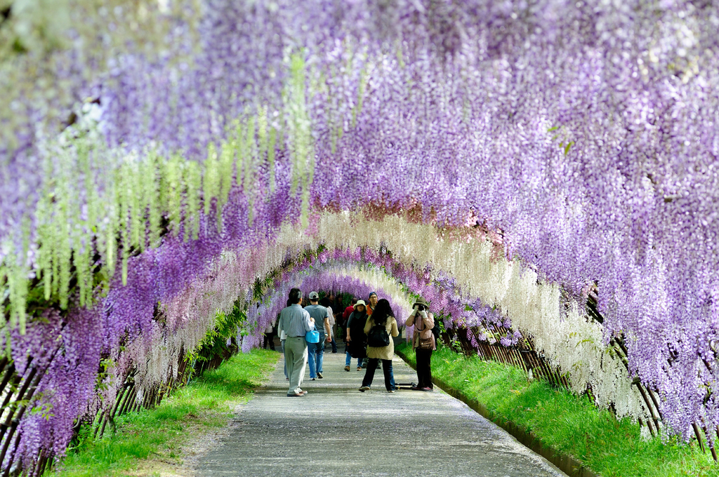 glicinas japón tunel 4