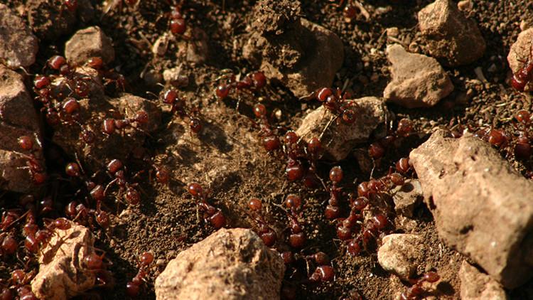 hormiga argentina plaga 2