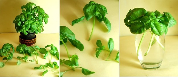 verduras albahaca