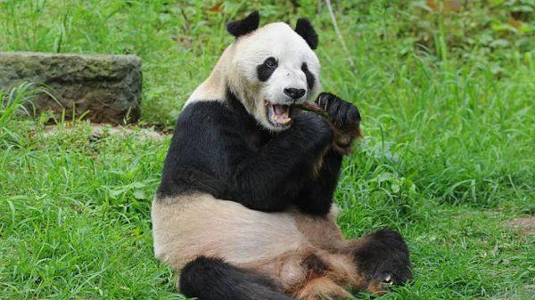 Pan pan, el longevo panda gigante de 31 años