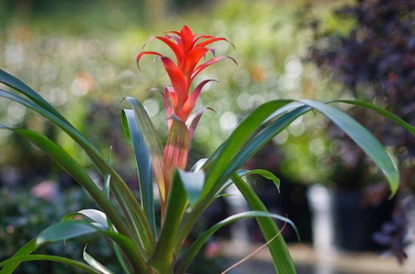 plantas de interior bromelia 1_opt