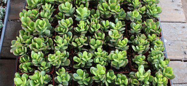 plantas de interior jade 1_opt