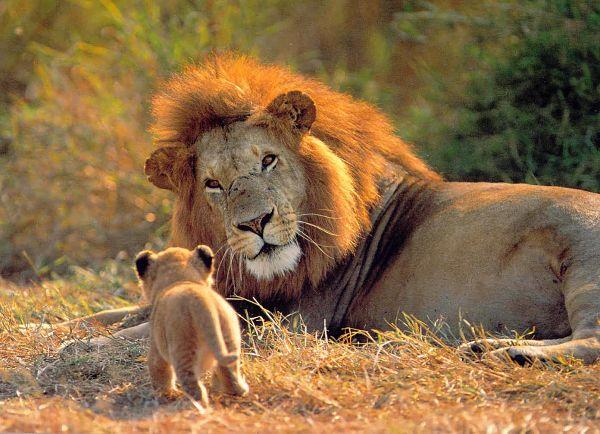 Leones en el Parque Kruger_600