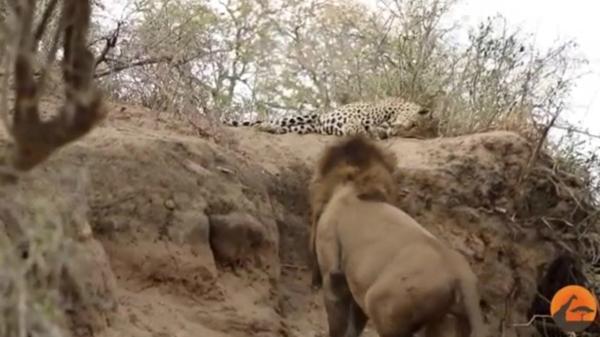 leon leopardo 600
