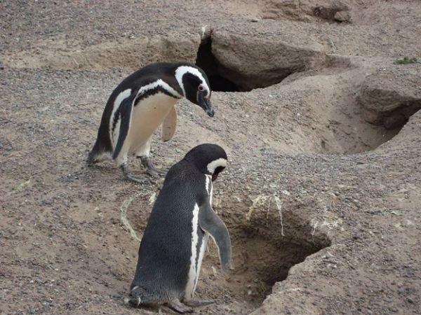 pinguinos-1-624x468_opt