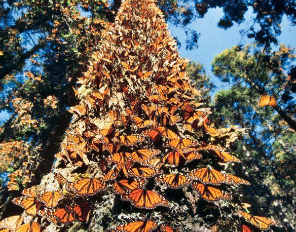 la_mariposa_monarca_tiene_nuevo_hogar