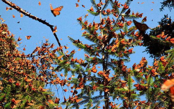 mariposa monarca_600
