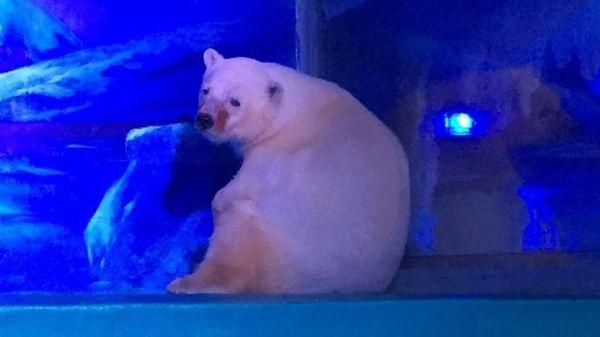 oso-polar-mas-triste-del-mundo-1_opt
