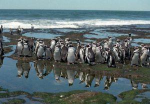 Punta tombo pinguinos