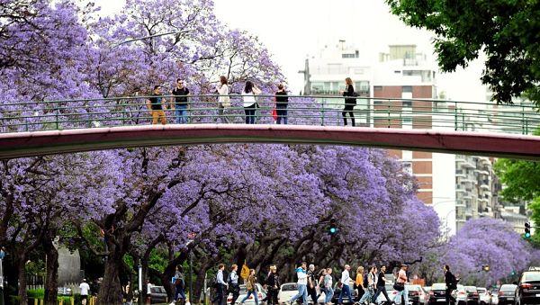 florecen los jacarandaes en Buenos Aires