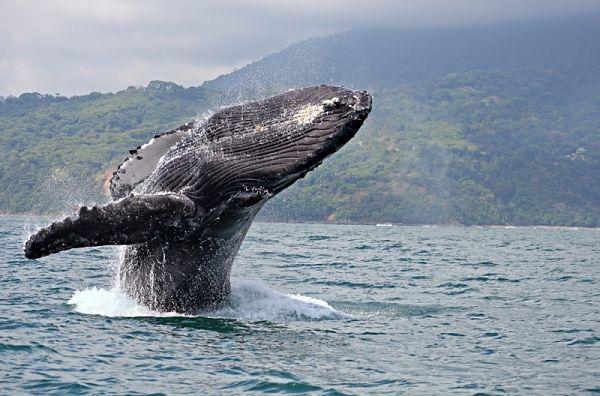 ballenas en Bahia solano