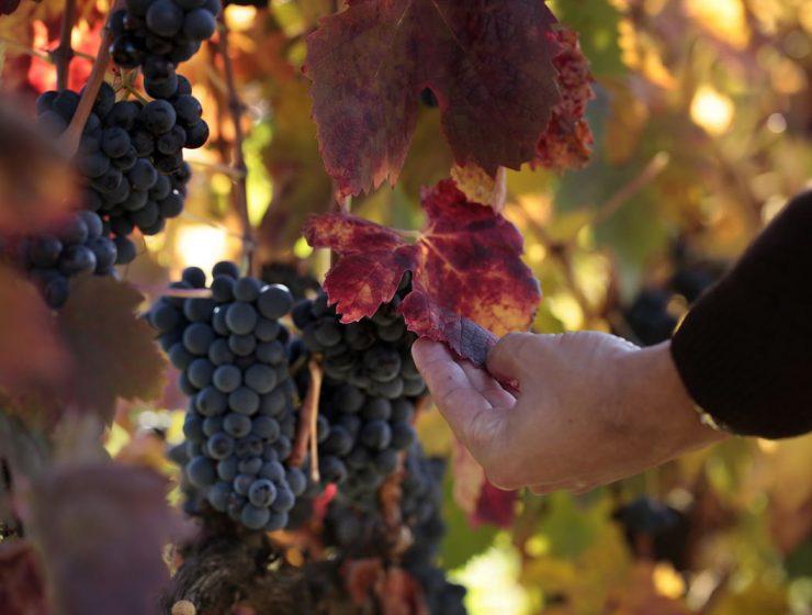 variedad de vino tinto