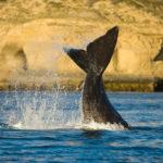 peninsula valdes ballenas