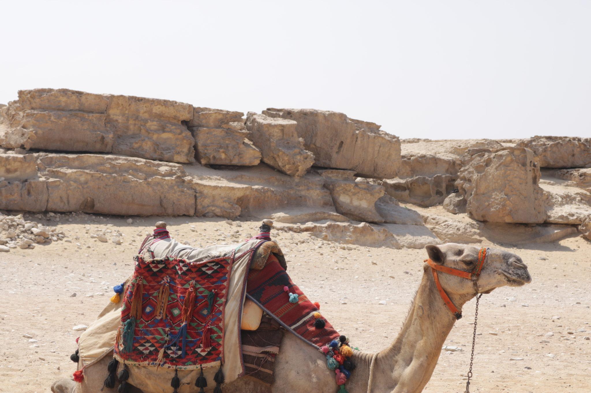Camello en Giza