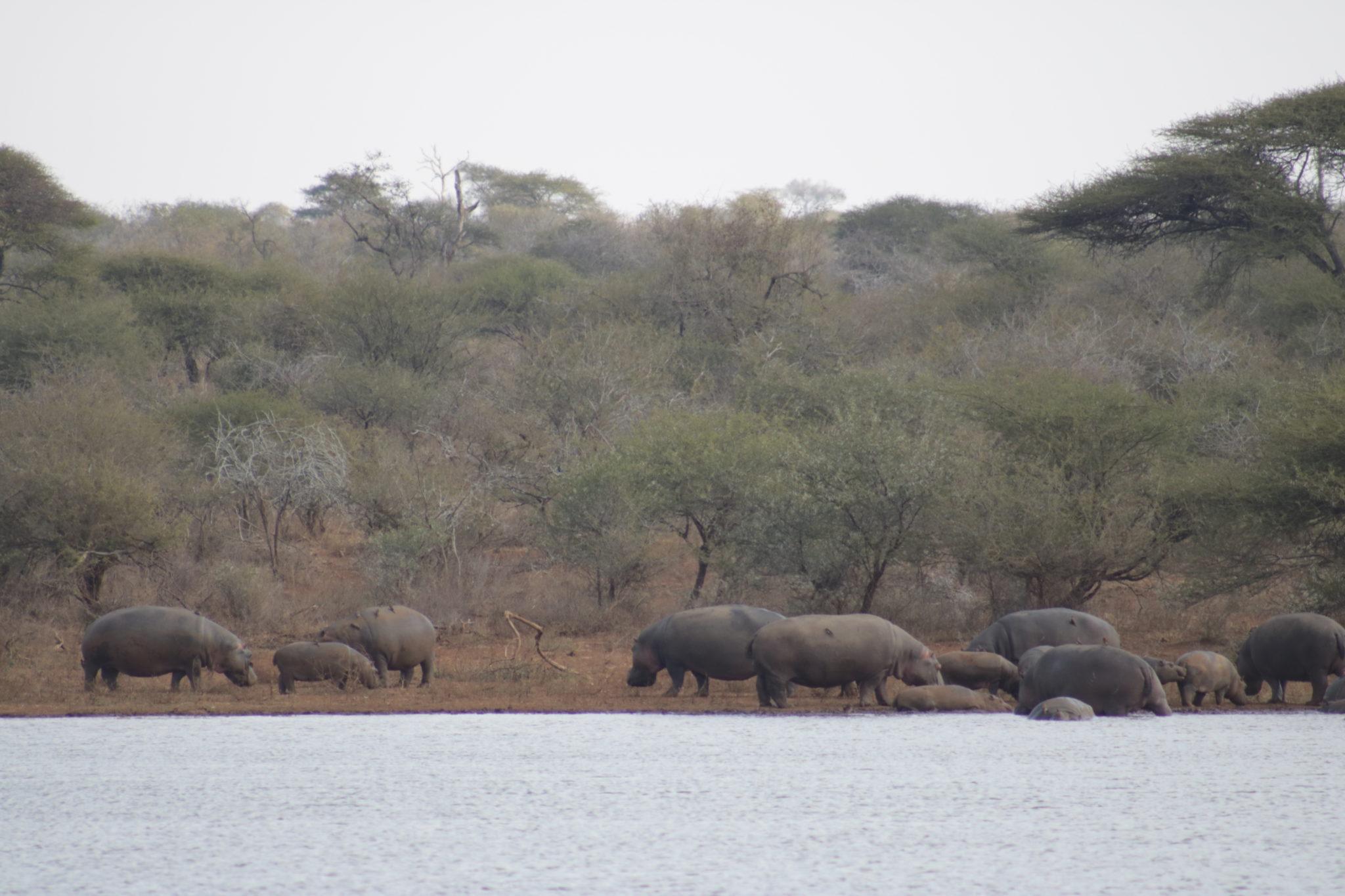 Hipopotamos en el Parque Kruger