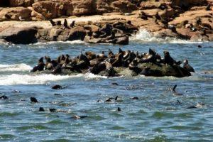 lobos marinos en Uruguay