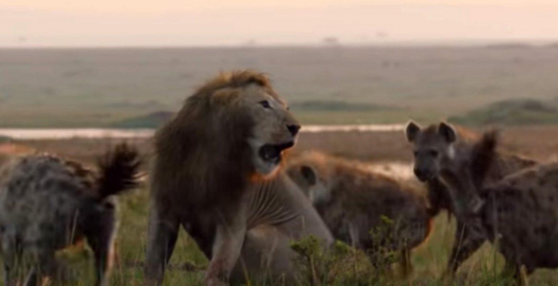 león salva a su amigo de las hienas